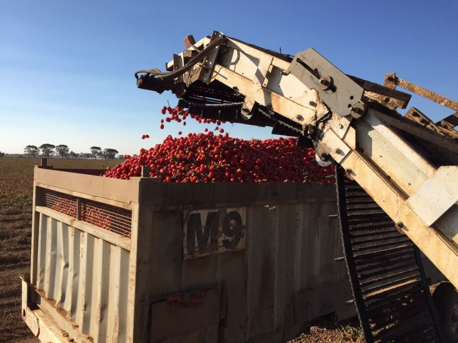 SICK RFID technology used in automated tomato harvesting – a case