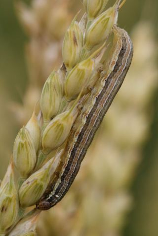 Fall Armyworm Pest Spreads To Soya Beans