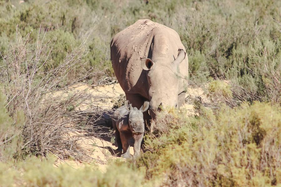 ONE YEAR ON: another baby rhino born at Aquila Private Game Reserve and Spa