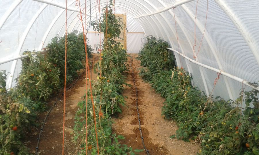 Emerging farmers in Macassar use tunnels to grow vegetables.
